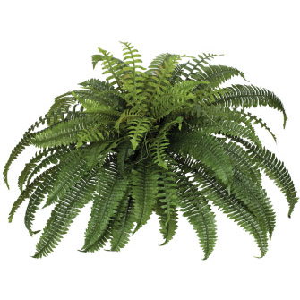 Boston Fern Large 30