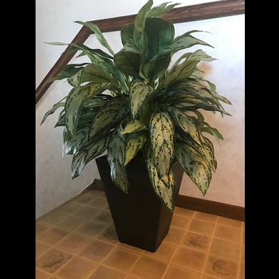 Black planter with our Dieffenbachia Floor Plant - Idea Gallery - Corporate Plant Rentals for conventions