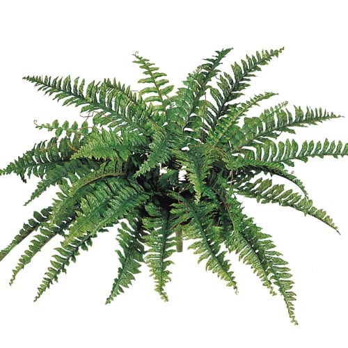 Boston Fern Large - Artificial Trees - Tropical artificial plants for rent Minneapolis area