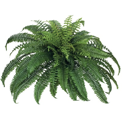 Boston Fern 34