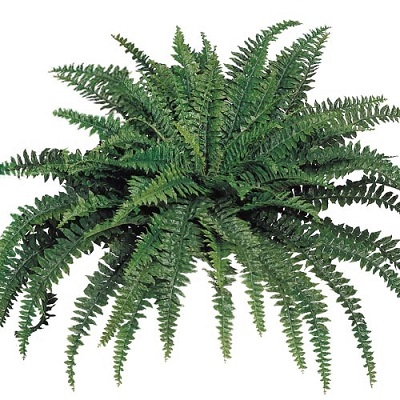 Boston Fern 48