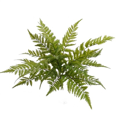 Boston Fern 28