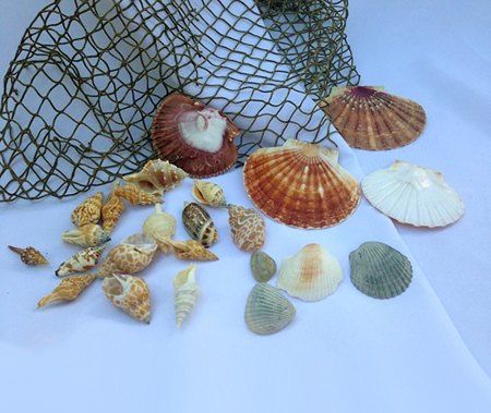 Seashells by the bag - Themed Rentals - Sea Shells for rent